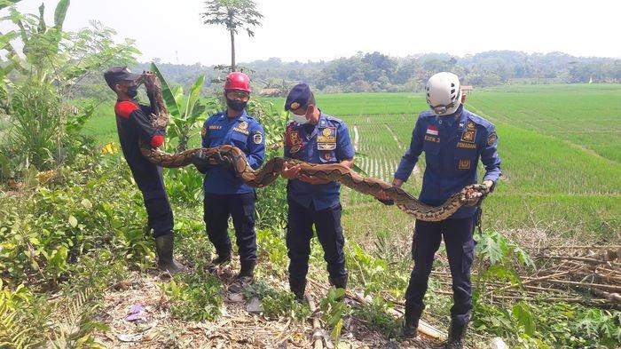 Petugas Damkar Purwakarta Temukan 2 Ular Sanca di Tempat yang Sama Selama Dua Hari Berturut-turut