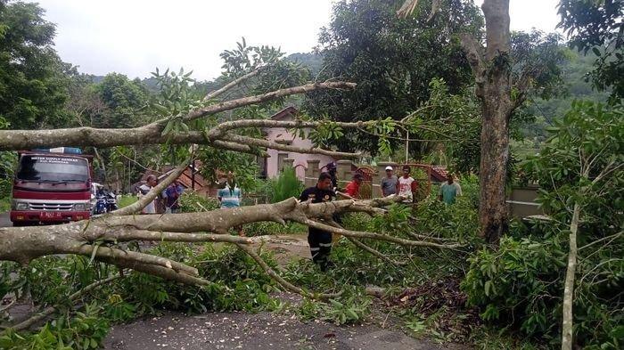 Pohon Tumbang Lumpuhkan Arus Lalu Lintas Jalur Bayuning- Kadugede, Damkar Kuningan Berhasil Evakuasi