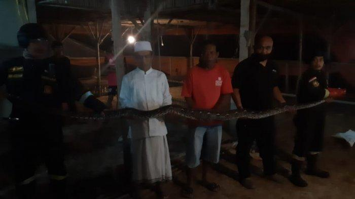 Ular Piton Sepanjang 4 Meter Santap Seekor Bebek, Petugas Damkar Kuningan Turun Tangan Tangkap Sanca