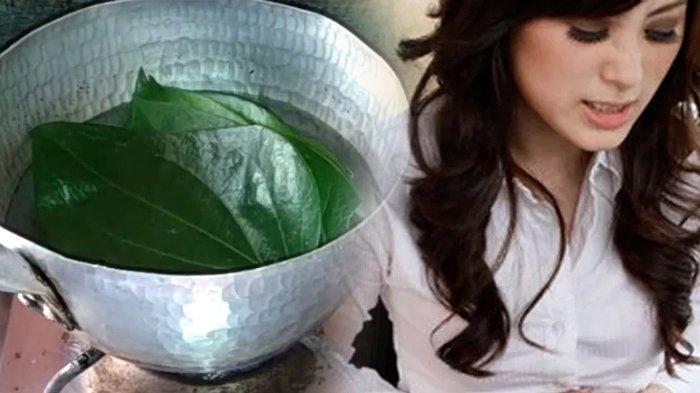 INI Manfaat Rutin Minum Air Rebusan Daun Sirih, Bisa Sembuhkan Keputihan pada Wanita, Obat Ampuh
