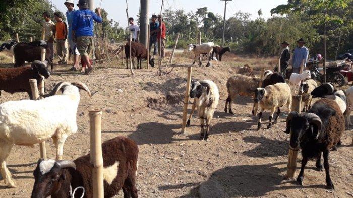 Nih Tips Memilih Domba untuk Hewan Kurban Saat Iduladha Nanti