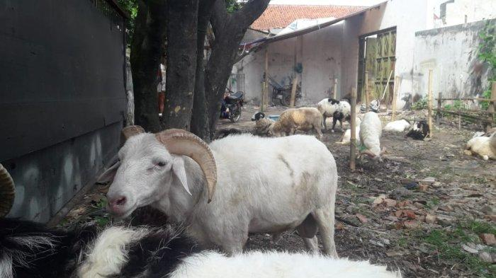 Cerita Atep Jual Hewan Kurban Untuk Idul Adha, Belum Laku Satu Pun, Domba Dijual Harga Terjangkau