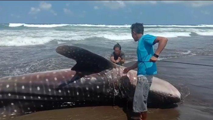 Heboh Ikan Hiu Tutul Kembali Terdampar di Pantai Pangandaran, Kini Beratnya Mencapai 5,5 Kuintal