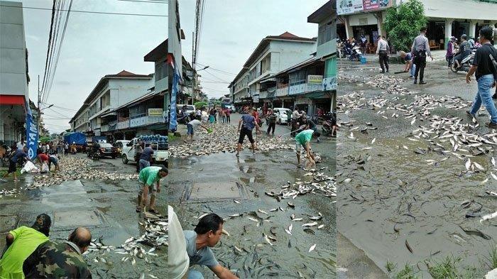 GEGER, Ribuan Ikan Berserakan di Jalan Kota Singkawang, Ada Penampakan Ikan Tapah di Bekas Karhutla
