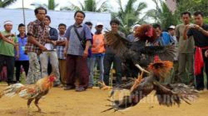 Pemain Sabung Ayam yang Digerebek Polisi di Kecamatan Cihideung Kota Tasik, Ternyata Lintas Provinsi