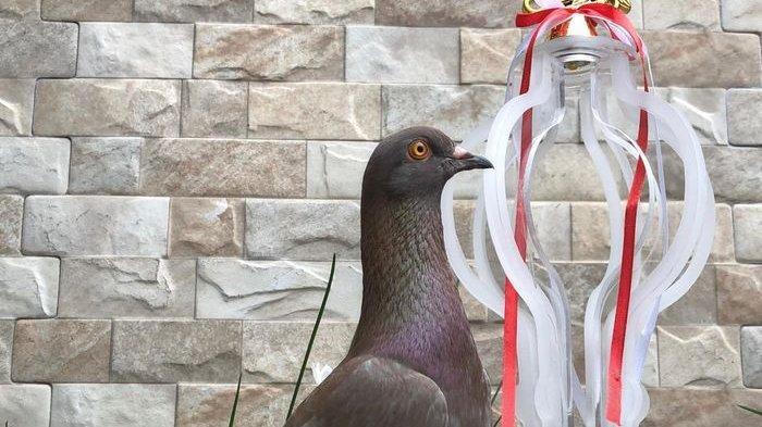 Burung Merpati Seharga Rp 1 Miliar Itu Bernama Jayabaya, Ini Asal Muasal dan Kelebihannya