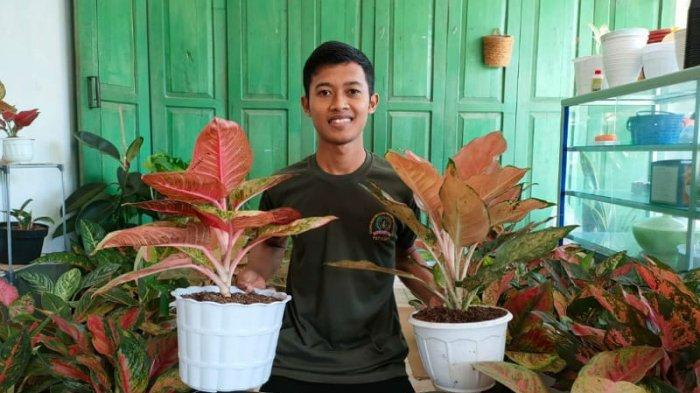 Yaya Sukses Jualan Online Tanaman Hias Aglonema hingga Mencapai Omzet Rp 50 Juta Per Bulan
