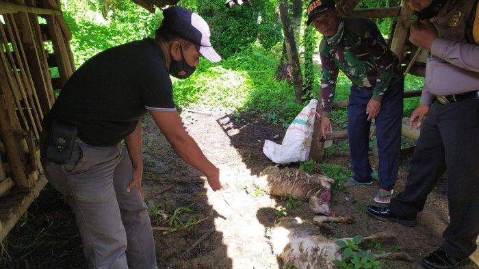 BREAKING NEWS - 7 Ekor Kambing Kembali Mati Misterius di Kuningan, Hewan Pemangsa Belum Ditemukan