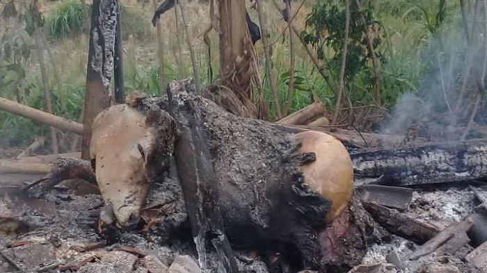 Sutardi Sedih Sapi Miliknya Mati Terpanggang, Kandang Sapinya Terbakar Hingga Rata dengan Tanah