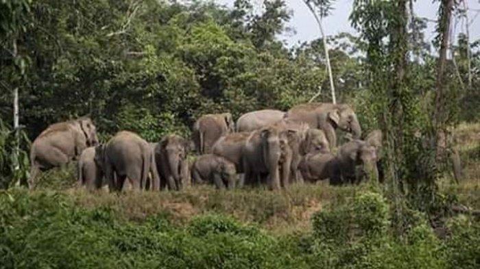 Dua Orang Warga Luka-luka Diinjak Kawanan Gajah Liar di Lampung Barat, Begini Kronologinya