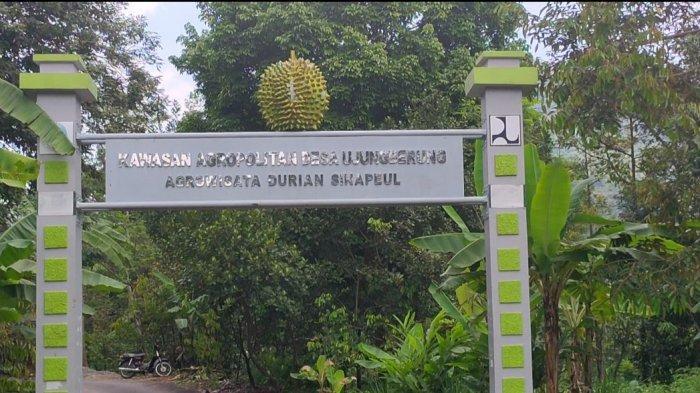 Menilik Kawasan Agrowisata Durian di Desa Ujungberung, Bisa Petik & Beli Durian Khas Majalengka