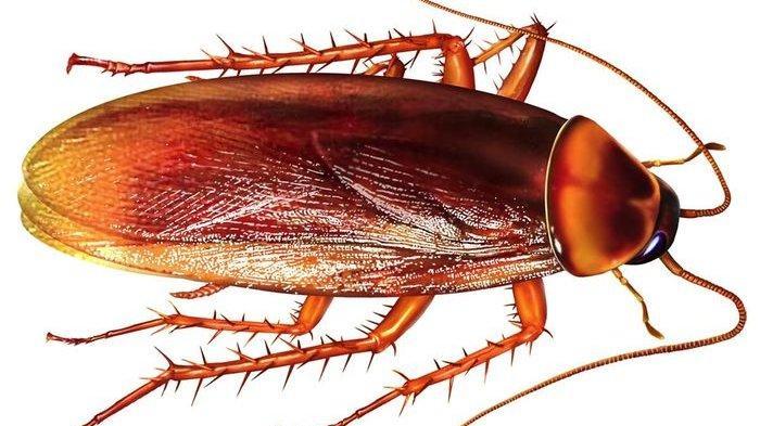 Bahan-bahan Alami Ini Ternyata Bisa Usir Kecoa dari Rumah Anda, Ampuh dan Dijamin Kecoa Hilang