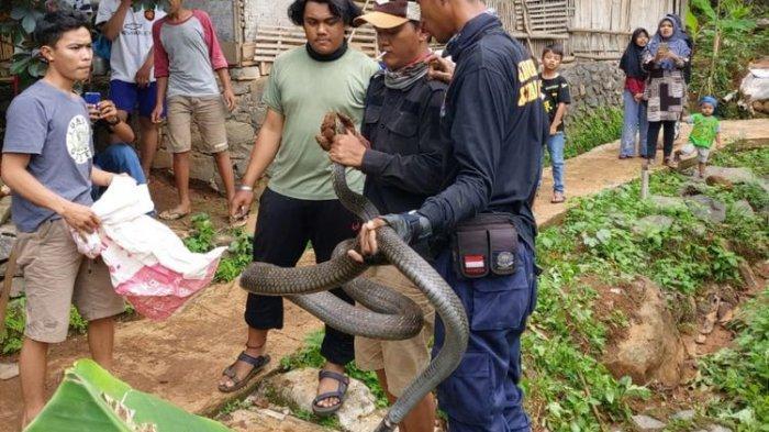 Ular King Kobra Sepanjang 2,5 Meter Kejutkan Warga Linggajaya, Takut Digigit Akhirnya Panggil Damkar