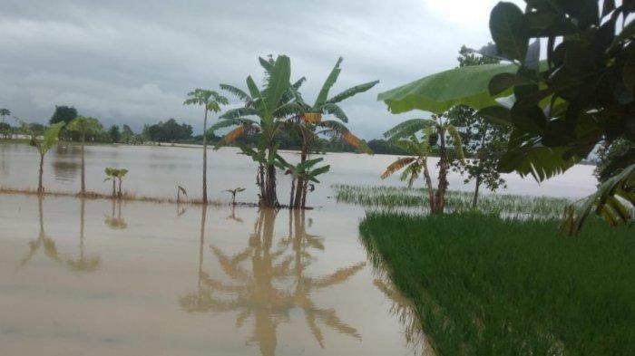 Banjir Masih Terjang Sejumlah Wilayah di Indramayu, di Desa Cibeber Ratusan Hektare Sawah Terendam