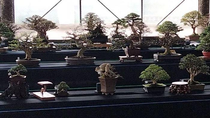 Bonsai Seharga Ratusan Juta Rupiah Meriahkan Ajang Kontes dan Pameran Bonsai dan Suiseki di Kuningan