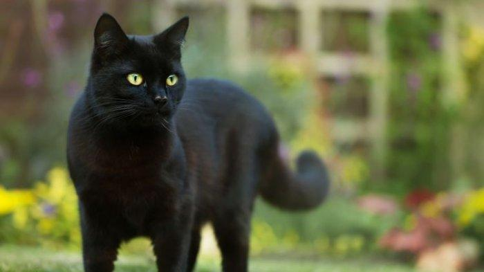 Aura Mistis Kucing Hitam, Bawa Sial Buat Penabraknya Hingga Mayat Hidup Lagi Jika Dilangkahi