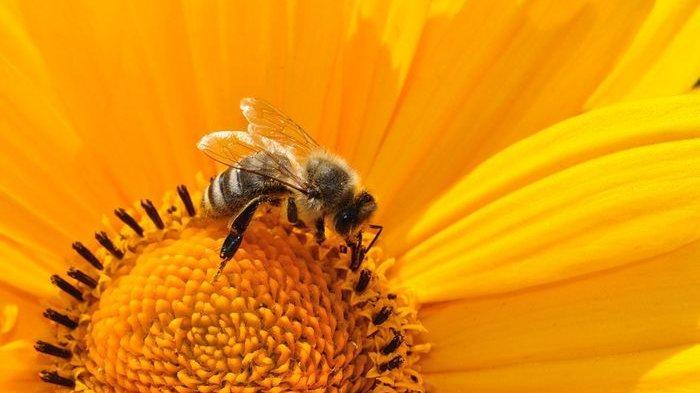 Suami Istri Tewas Disengat Kawanan Lebah, Ternyata Orang yang Punya Alergi Tak Boleh Dekati Lebah