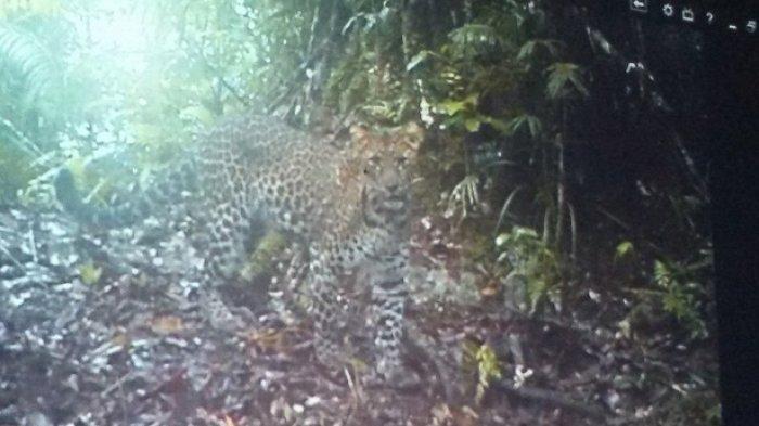 Temukan 9 Ekor Macan Kumbang dan Tutul di Gunung Sawal, BKSDA Imbau Warga Tak Pasang Perangkap