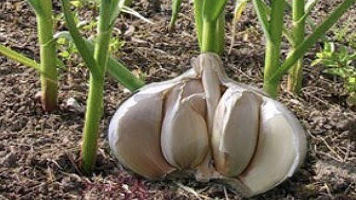 Ini Cara Menanam Bawang Putih yang Ampuh Atasi Masalah Kolesterol, Bisa Ditanam di Rumah Pakai Pot