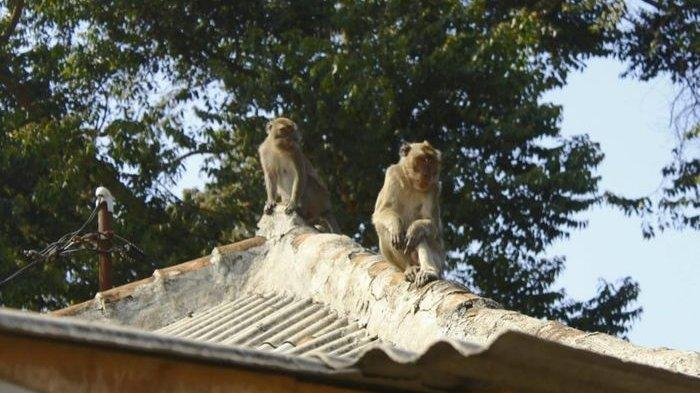 Monyet Liar Acak-acak Rumah & Warung Warga di Kuningan, Petugas Damkar Coba Menangkap Tapi Gagal