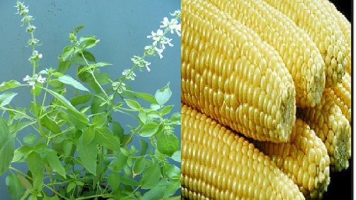 daun kemangi dan jagung