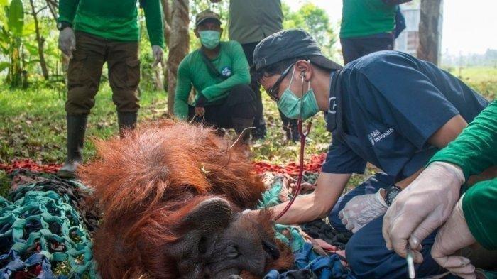 Kisah Penyelamatan Orangutan Junai, Selamat tapi Mata Kanan Buta, Gara-gara Kebakaran Hutan