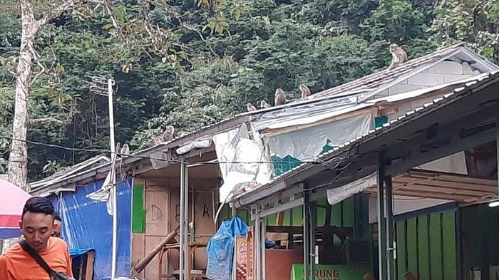 Kawanan Monyet Geruduk Permukiman Warga di Kalsel, Bikin Warga Ketakutan, Ini Kata BKSDA