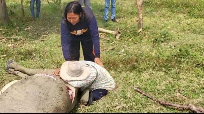 Pedagang Hewan Kurban di Banten Menangis Sesenggukan, Syok Saat Tahu 9 Kerbaunya Mati
