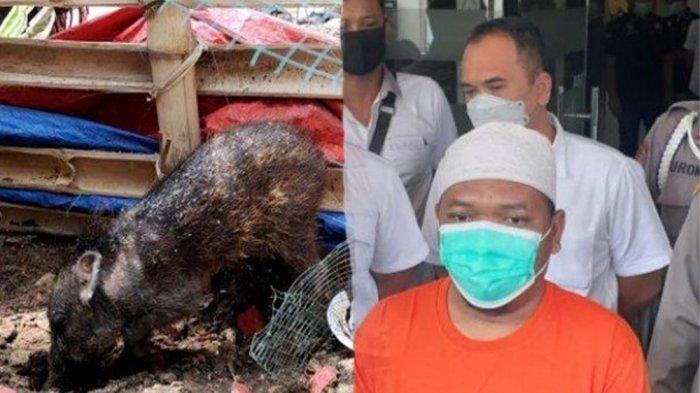 Beritanya Masih Viral, Ternyata Babi Ngepet di Sawangan Cuma Karangan Ustaz, Beli Babi Secara Online