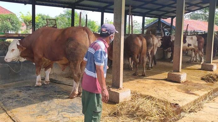 Omo (63), salah satu penjual hewan kurban saat di kandang sapi, Sabtu (10/7/2021). Ia mengaku tahun ini mengalami penurunan penjualan dibanding tahun lalu.