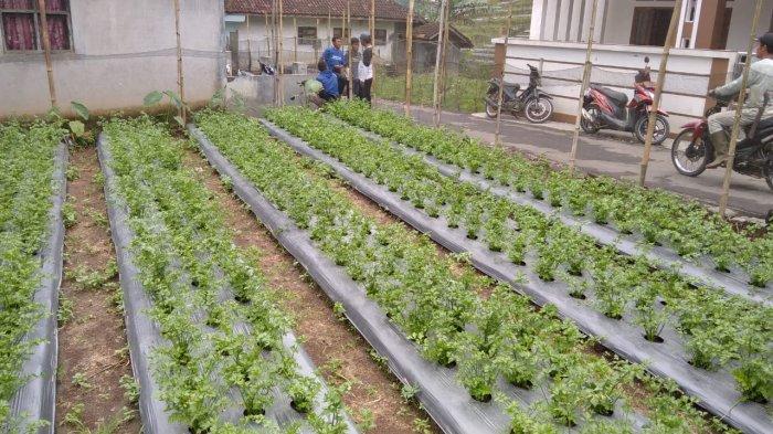 Petani di Majalengka Masih Keluhkan Pupuk, Rogoh Kocek Lebih Dalam Demi Beli Pupuk