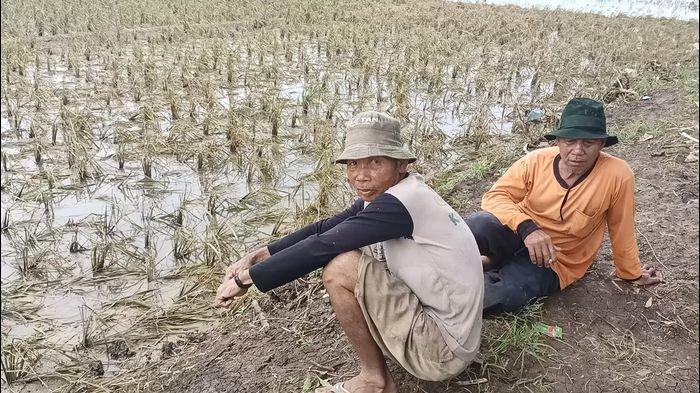 Petani Menjerit Butuh Bantuan, Sawah di Indramayu Alami Puso Makin Meluas Tercatat Ada 5.112 Hektare