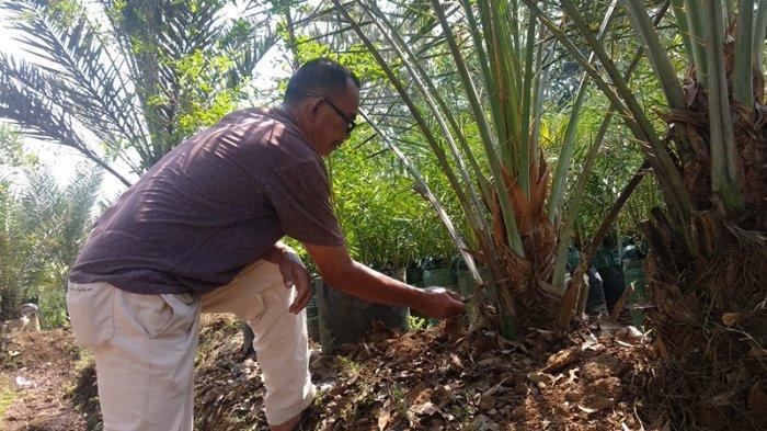Petani Asal Majalengka Sebut 6 Jenis Kurma Ini Bisa Ditanam dan Tumbuh Subur di Indonesia