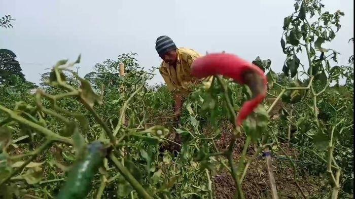 Harga Cabai Tak Lagi Pedas, Petani di Indramayu Cabut dan Bakar Tanaman Cabai