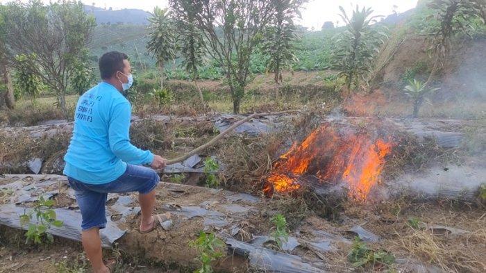 Petani Cabai di Majalengka Frustrasi, Harga Cabai Terus Anjlok, Karena Kesal Akhirnya Cabai Dibakar