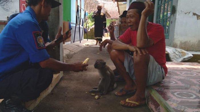 Seekor Monyet Liar Gigit Warga di Kuningan, Warung dan Perabotan Rumah Tangga Pun Jadi Sasaran