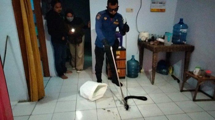 Petugas Damkar Kuningan berhasil menangkap ular jenis kobra dengan panjang 1.5 meter di sebuah rumah warga, Kamis (1/7/2021) malam.
