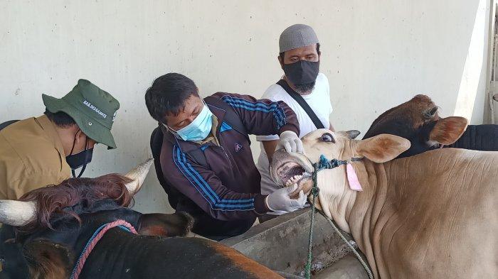 Hewan Kurban di Indramayu Diperiksa Kesehatannya, Berikut Ciri-ciri Hewan Kurban yang Sehat