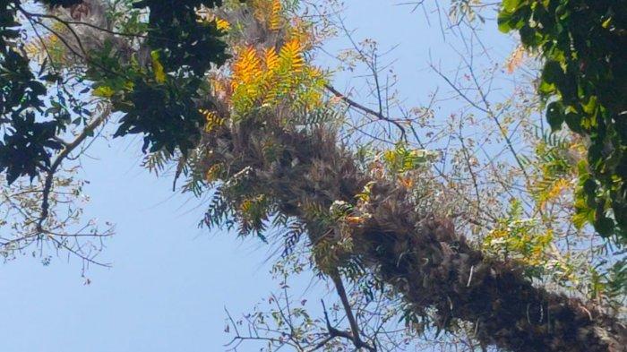 Unik! Sebatang Pohon Pisang Tumbuh di Batang Pohon Randu Alas Setinggi 30 Meter di Majalengka