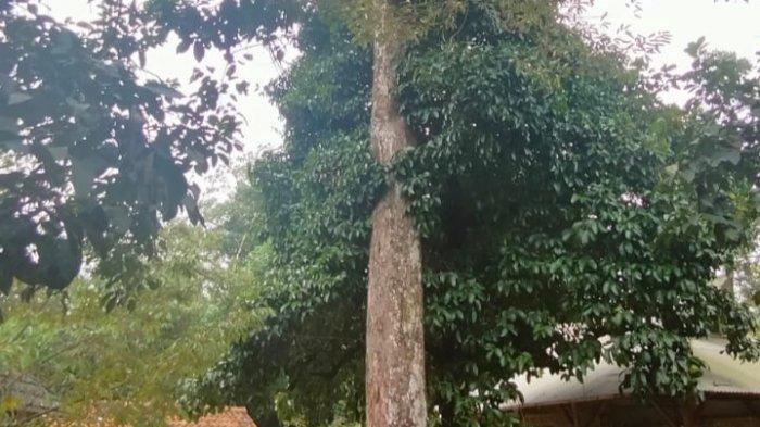 Pohon Durian Perwira di Majalengka Ini Ditaksir Berumur 2,5 Abad, Terus Berbuah Sampai Kini