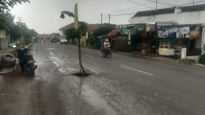 Pohon Pisang Tumbuh di Jalan Raya Jatiwangi-Cigasong Majalengka, Kok Bisa?