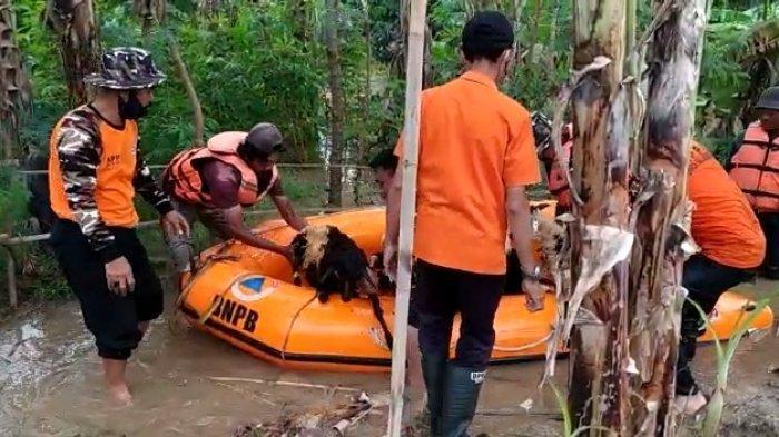 Puluhan Kambing dan Domba Dievakuasi Perahu BPBD Akibat Kandang Ikut Terendam Banjir Indramayu