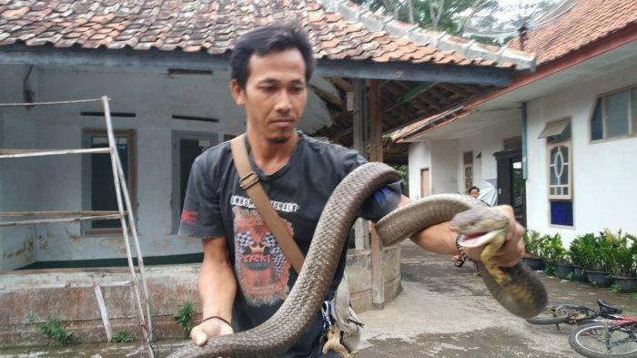 King Kobra Mirip Garaga Milik Panji Petualang di Kuningan Diberi Nama Covid, Pawang Ungkap Hal Ini