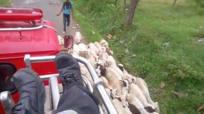 VIRAL Ratusan Kambing Tutup Jalur Mobil Damkar Kuningan Saat Menuju ke Lokasi Kebakaran