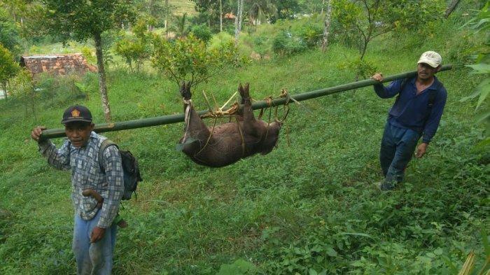 Kerap Merusak Lahan Pertanian, Warga Kuningan Berhasil Tangkap Babi Hutan