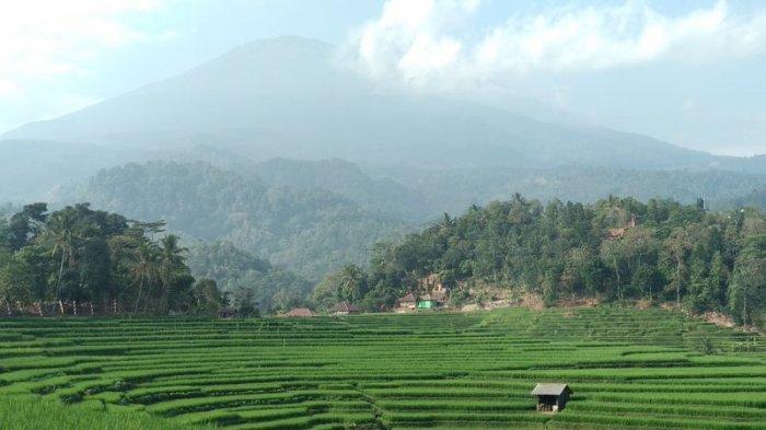 Spot foto pemandangan sawah di Blok Burujul, Desa Bantaragung, Kecamatan Sindangwangi, Kabupaten Majalengka.