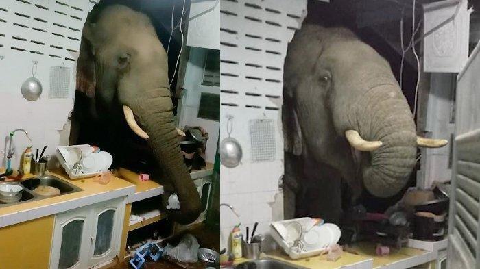 Kelaparan, Seekor Gajah Jebol Dinding Dapur Rumah Warga Tengah Malam, Ambil Sekantong Beras