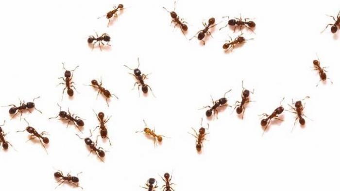 Banyak Semut di Rumah Anda? Bumbu-bumbu Dapur ini Dipercaya Ampuh Usir Semut, Dijamin Tak Balik Lagi
