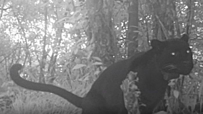 Macan Tutul Slamet Ramadhan dan Elang Jawa Huni Gunung Ciremai, Kepala BTNGC Sebut Kondisi Sehat