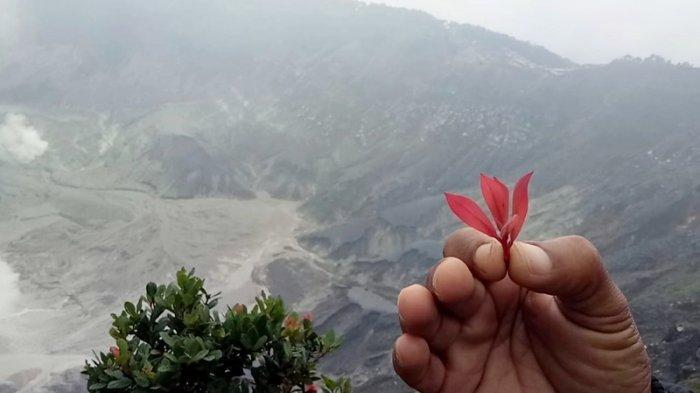Mau Awet Muda Seperti Dayang Sumbi? Cobain deh Daun Manarasa di Kawah Ratu Gunung Tangkuban Parahu